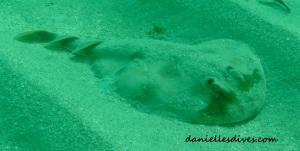 Angel Shark Pup